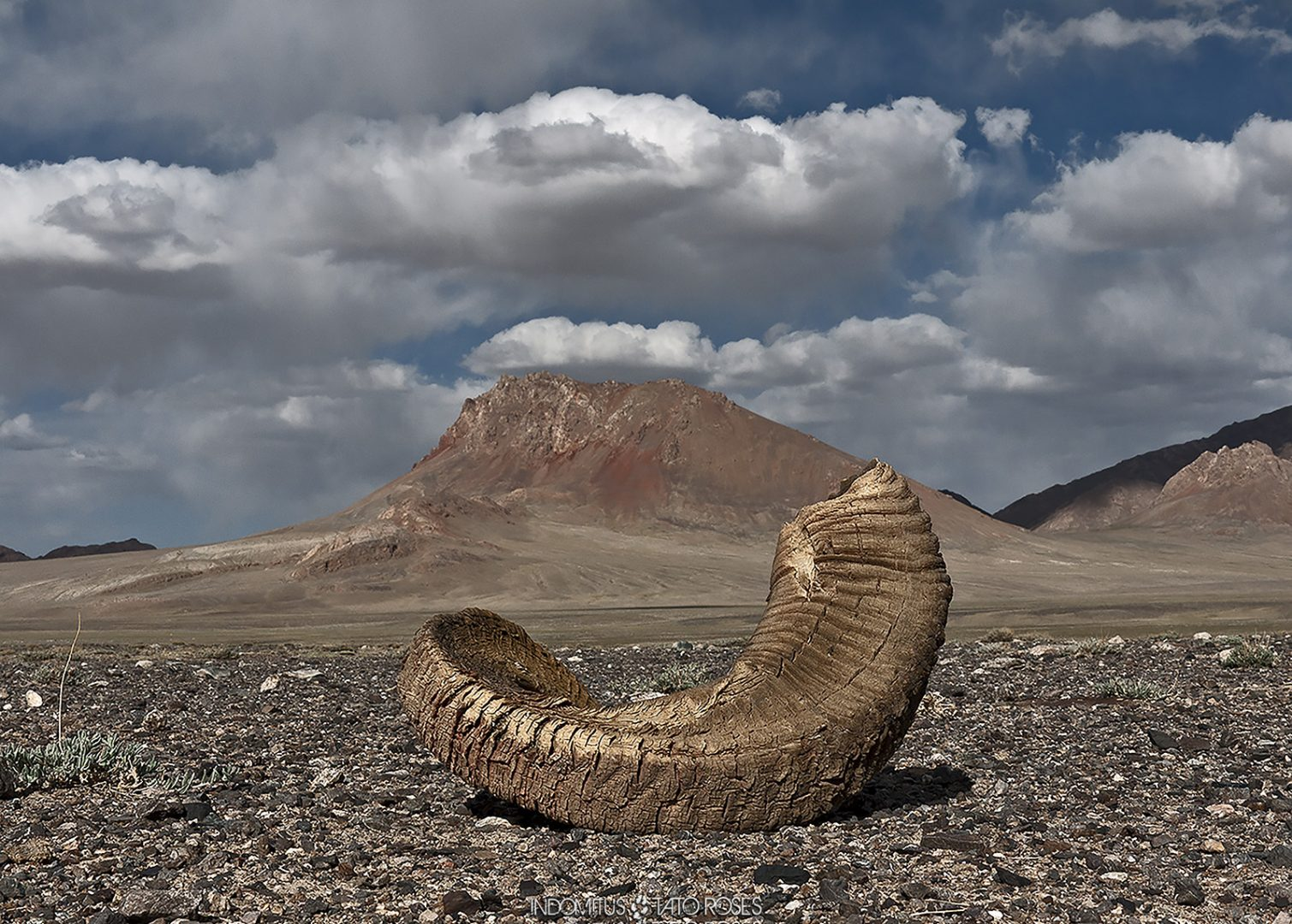 Tayikistán  Indomitus Tato Rosés 23