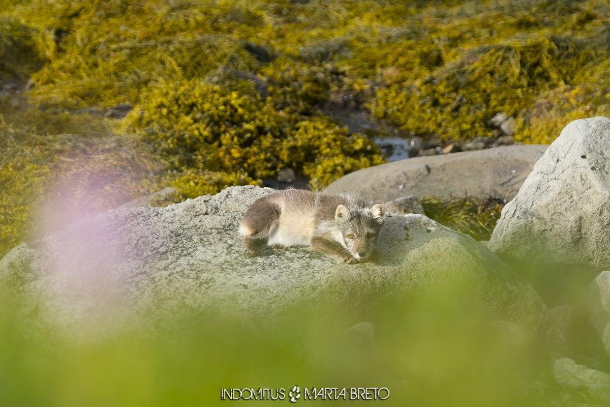 zorro ártico de pelaje blanco