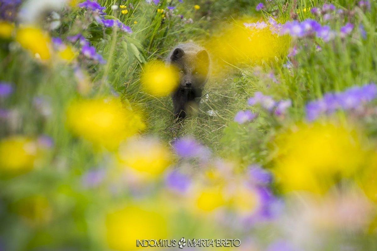 cachorro zorro ártico entre flores