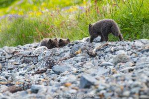 cachorros de zorro ártico