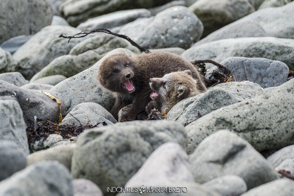 cachorros de zorro ártico peleando