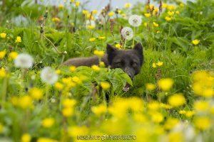 zorro ártico entre flores