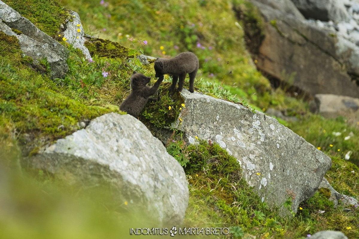 cachorros de zorro ártico jugando