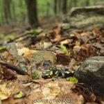salamandra y jojas secas