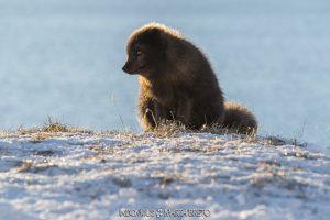 contraluz de zorro ártico