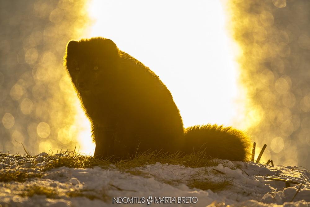 Puesta de sol con zorro ártico
