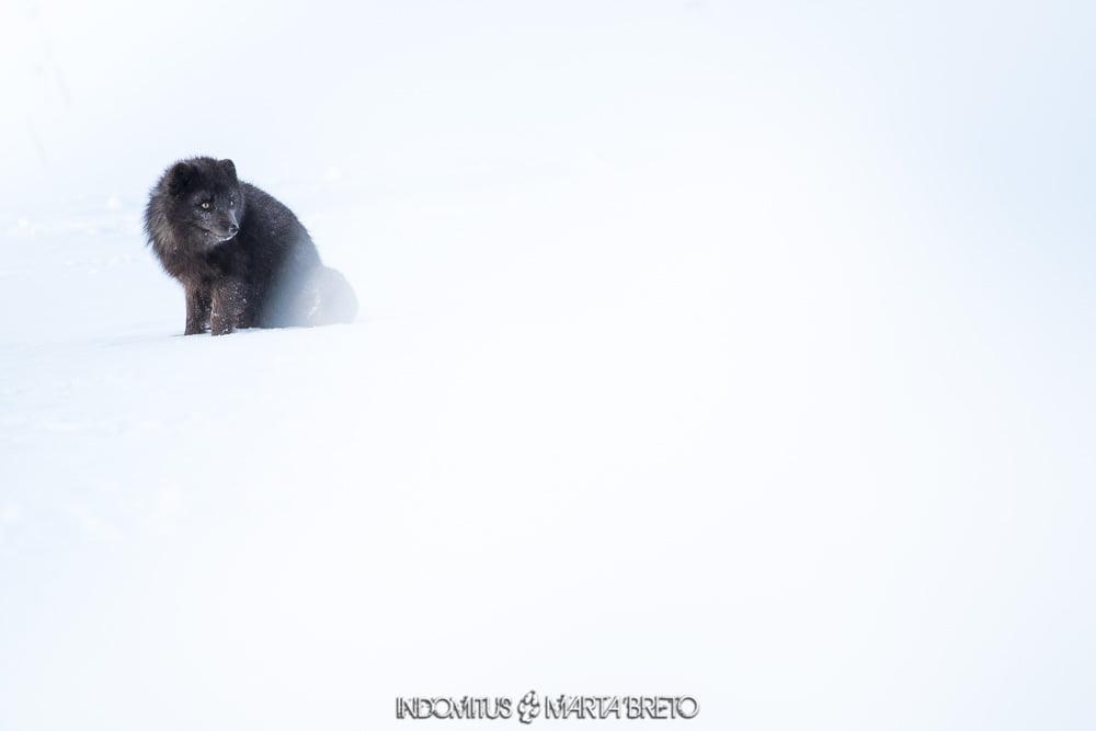 zorro ártico