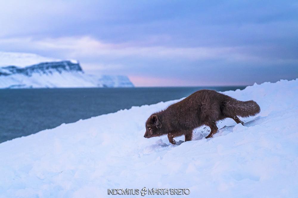 Perfil de zorro ártico