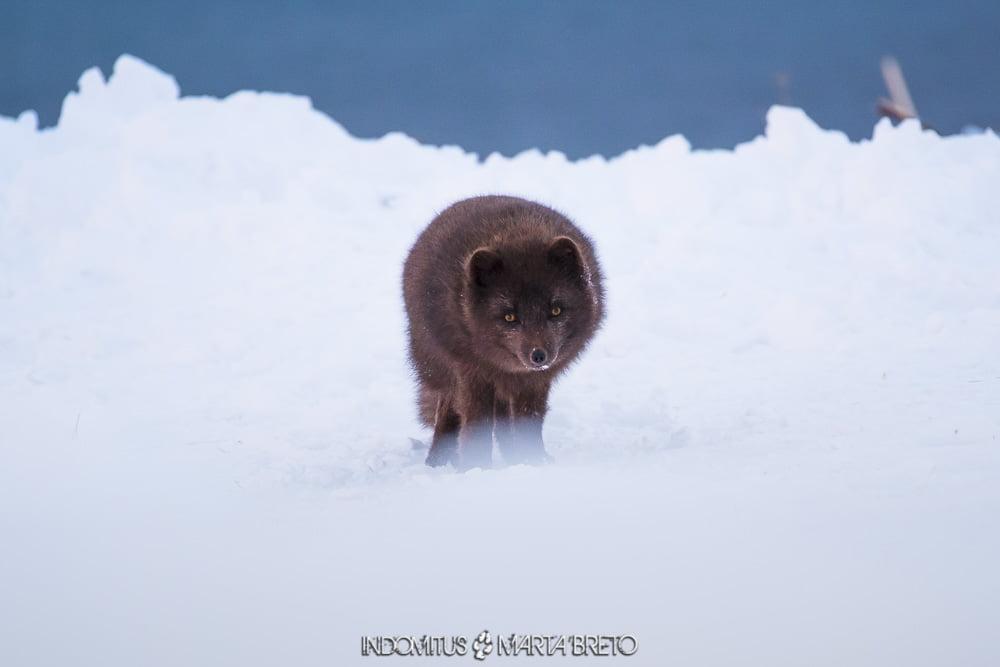 zorro ártico blue morph