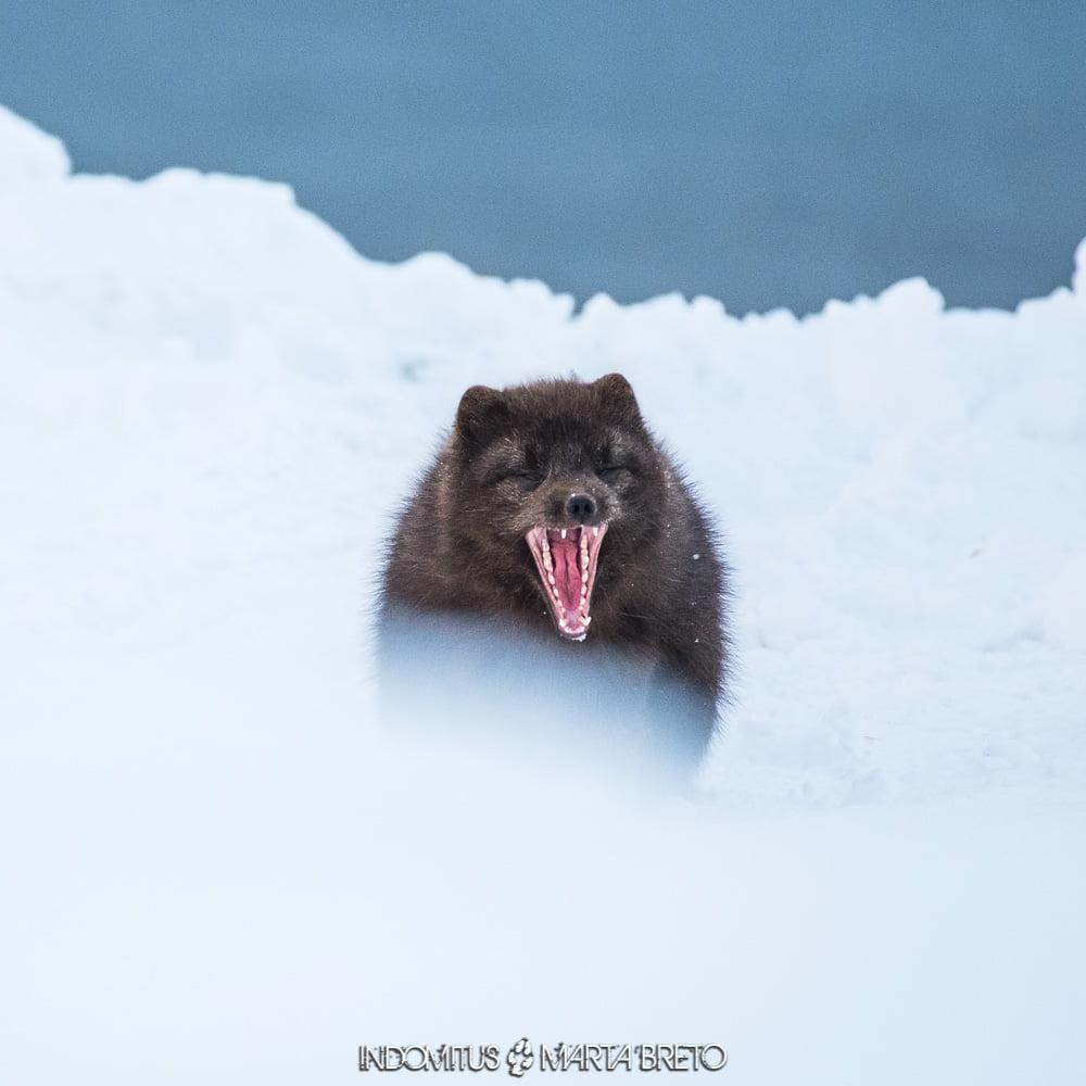 zorro ártico bostezando