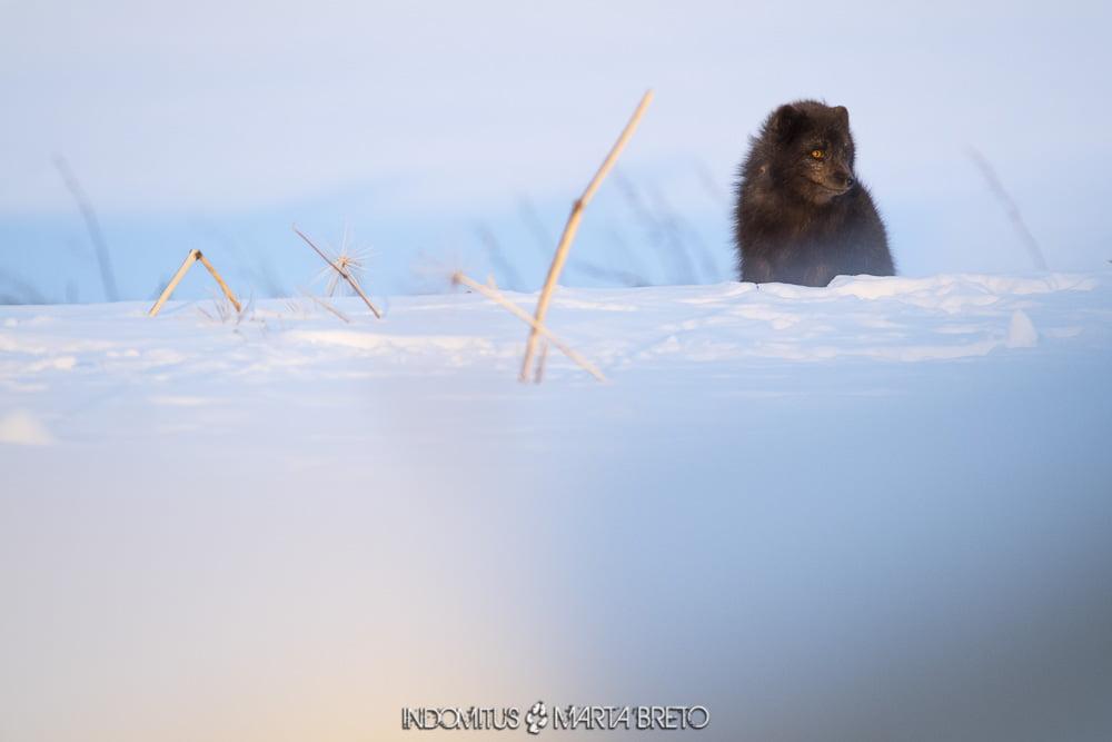 zorro ártico de pelaje azul