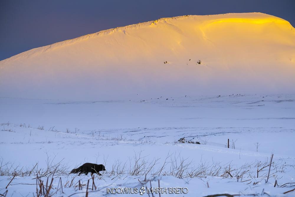 zorro ártico en la puesta de sol