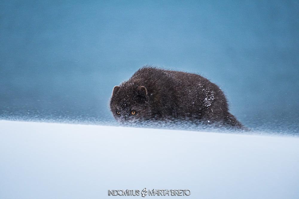 zorro ártico en medio de la tormenta