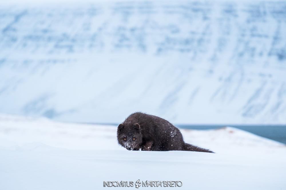 Mirada de zorro ártico