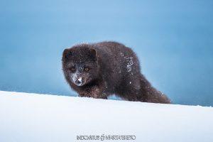Retrato de zorro ártico