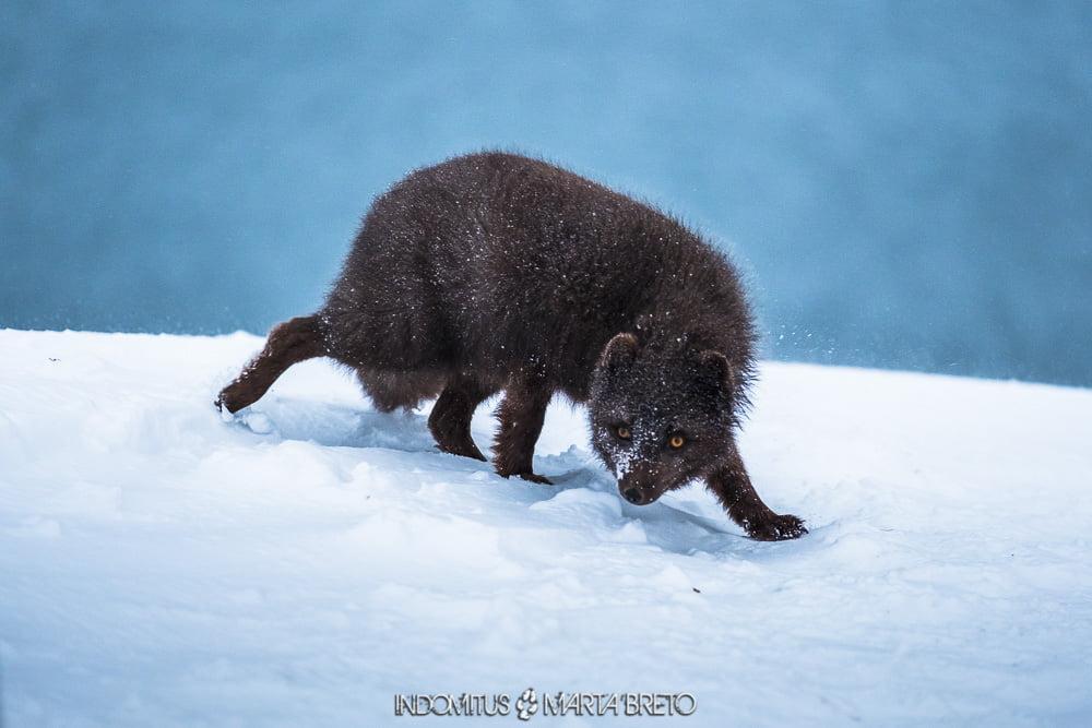 zorro ártico con pelaje invernal