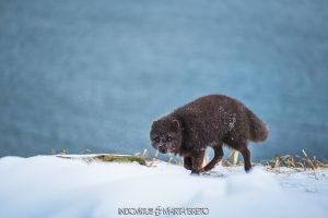 zorro ártico en pelaje invernal