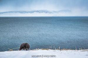 zorro ártico avanzando en la tormenta