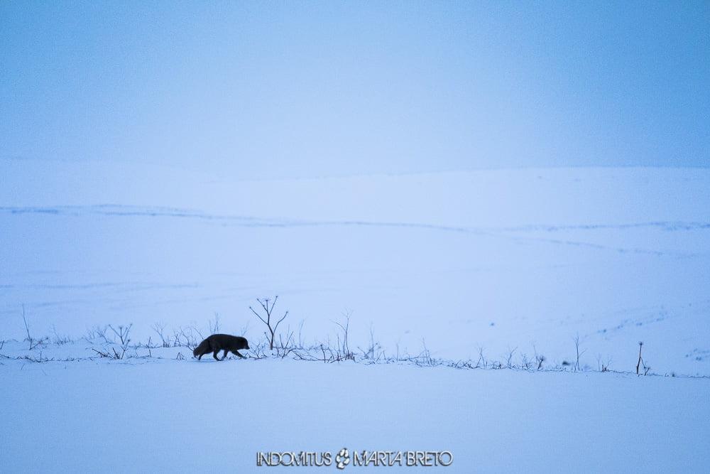 imagen minimalista con zorro ártico