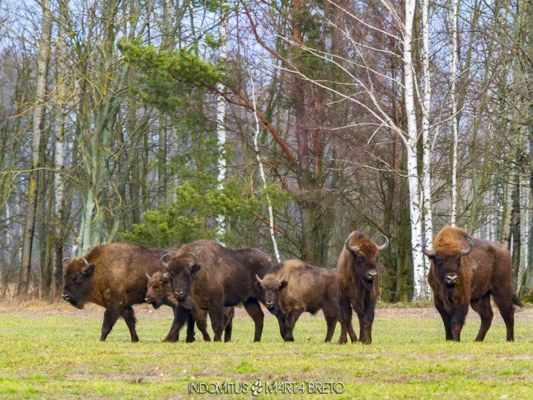 manada de bisontes