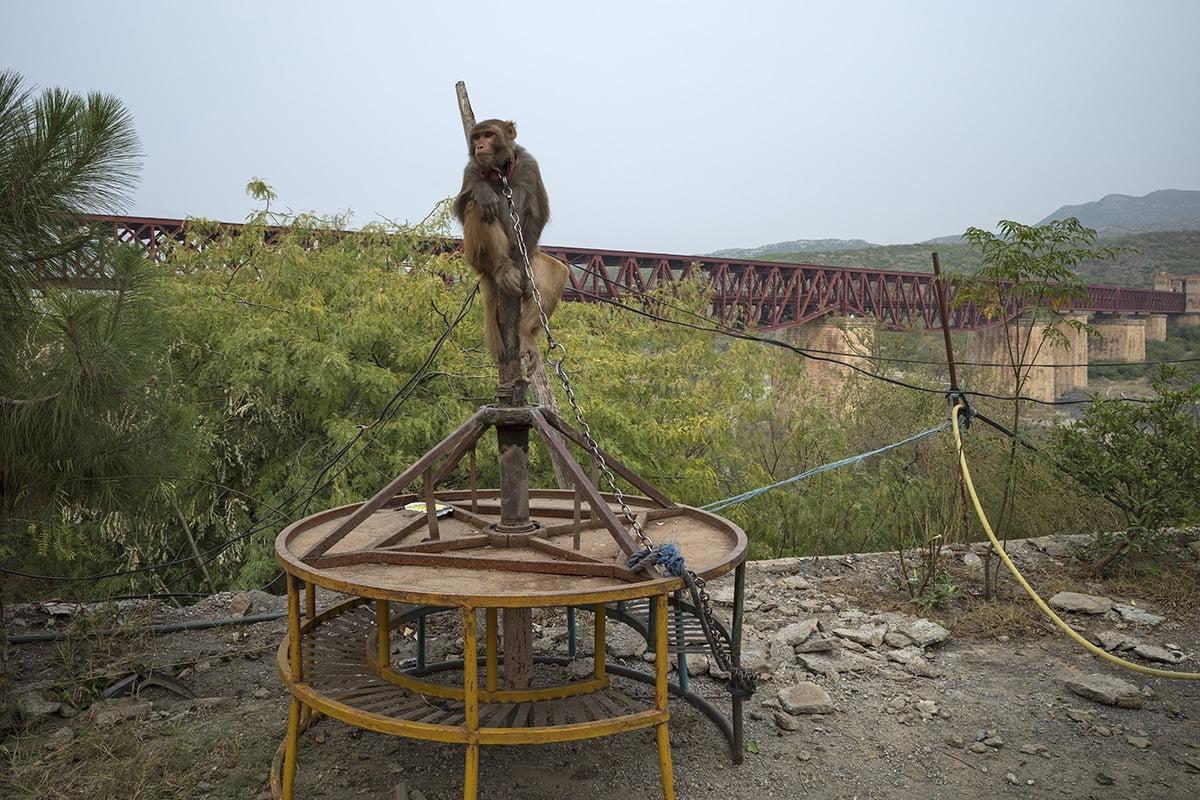 Macaco encadenado