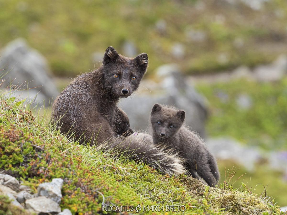 zorros árticos en Islandia