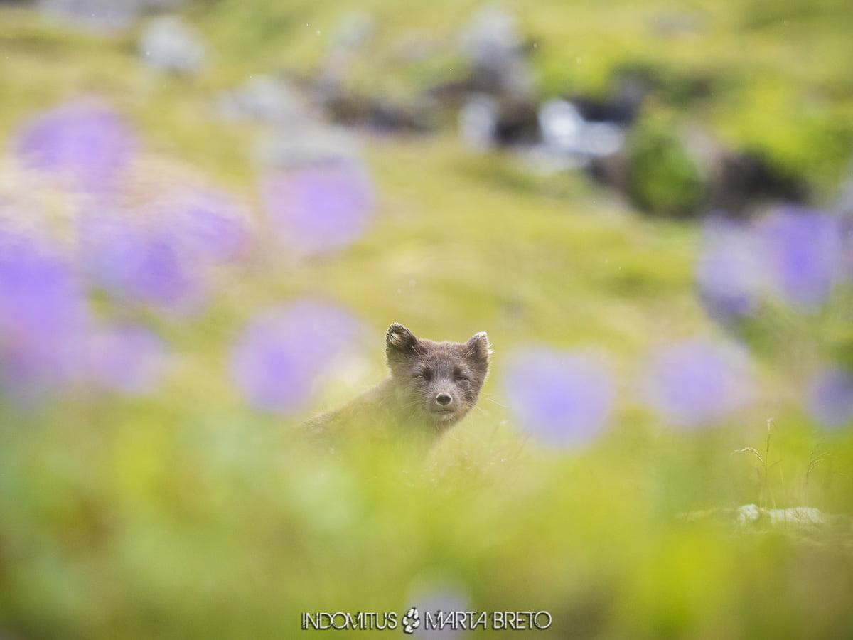 zorro ártico en Islandia